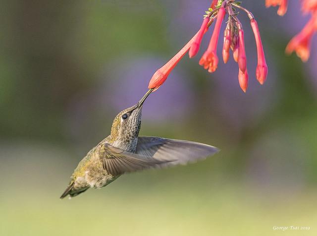 Choosing the right one -Anna's Humminigbird