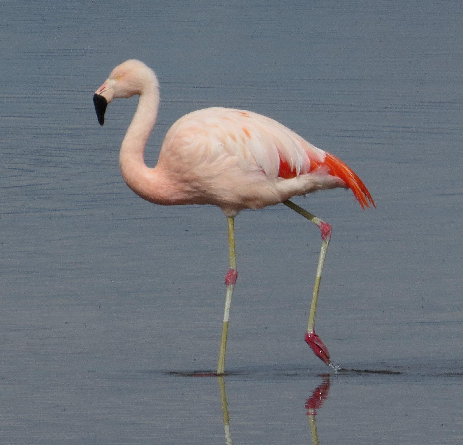 Chilean Flamingo