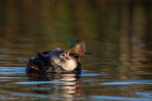 Eared Grebe with Chick