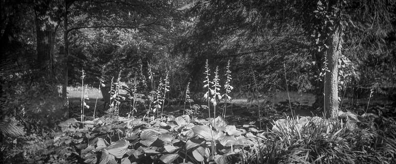blooming hostas, dense tree forms, yard, Asheville, NC, Blair Camera Co. No. 7 Hawk Eye, Fomapan 200, HC-110 developer, 6.28.19