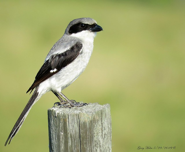 Loggerhead Shrike A Bird Of Prey