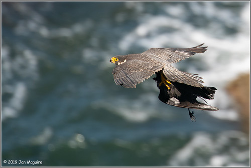 Peregrine with Crow 4655