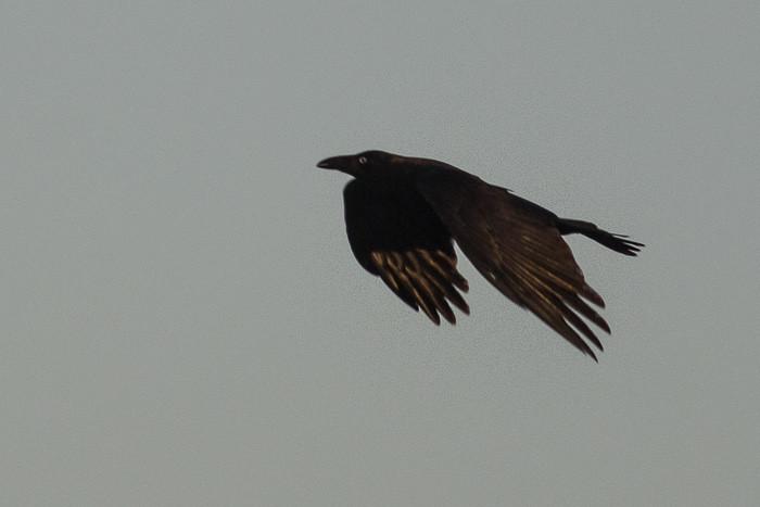 adult corvid