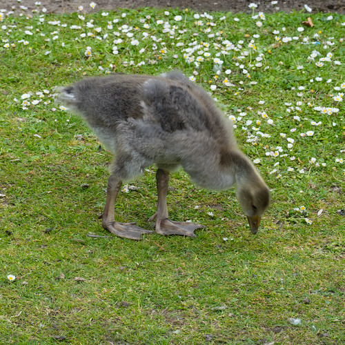 A smaller Canada goose family