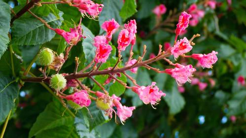 Horse chestnut: last flower, first nut