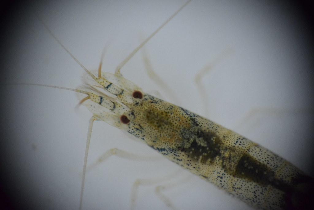 尚待鑑定的匙指蝦科蝦種,其額角十分短小,外型類似真米蝦,群體穩定,發現於在常被人忽略的小溝渠中。圖片提供:洄瀾風生態有限公司