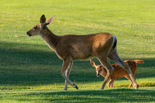 Mother Doe and Fawn on the Golf Course | by donjd2