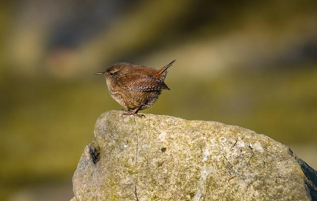 (1/2) a Wren on a Rock