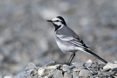 White Wagtail / Bergeronnette grise