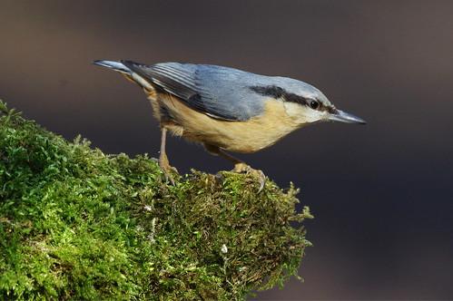 bird wild nature wildlife lackfordlakes suffolk sittaeuropaea nuthatch