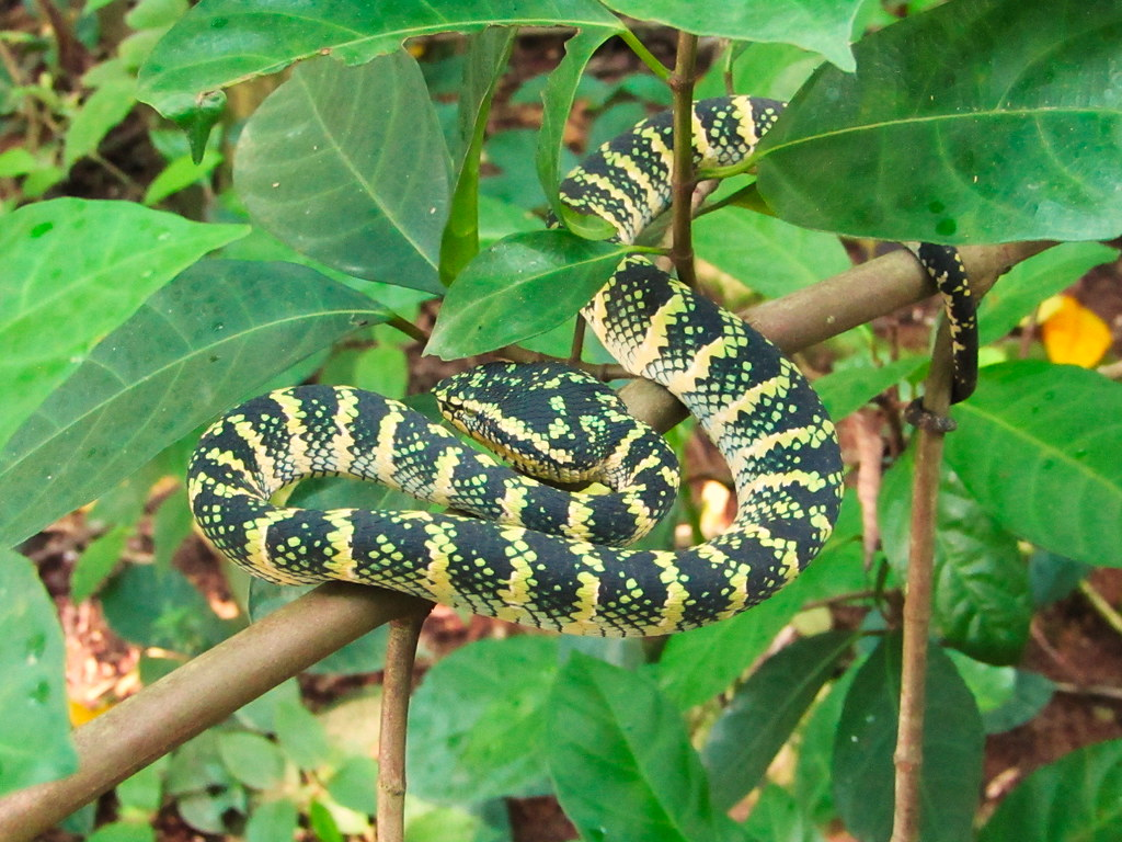 Waglers Pit Viper Female Tropidolaemus Wagleri Mandai