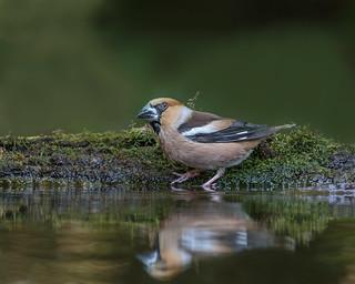 Hawfinch (Male)