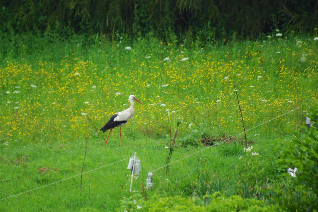 Bocian / Stork
