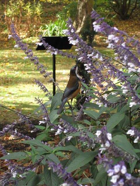An Eastern Spinebill in the Salvias - the Formal Gardens; the Garden of St Erth - Simmonds Reef Road, Blackwood