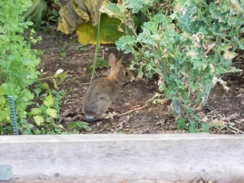 Baby Bunny in My Neighbor's Plot