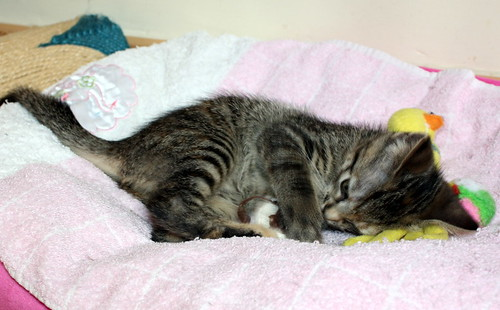 Donatella, gatita parda dulce y guapetona nacida en Abril´19, en adopción. Valencia. ADOPTADA. 48167949371_903afb2f73