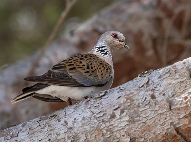 Turtle Dove (Barry's)