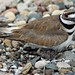 IMG_1017 killdeer