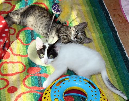 Donatella, gatita parda dulce y guapetona nacida en Abril´19, en adopción. Valencia. ADOPTADA. 48168033487_c9545a62c6
