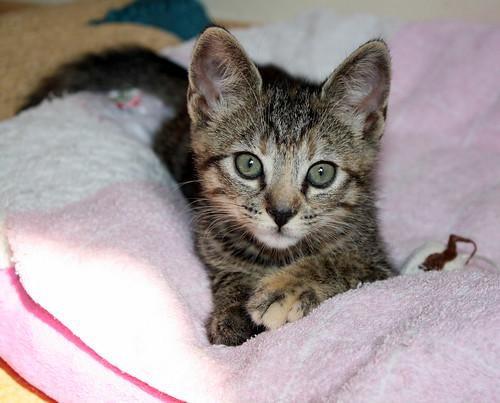 Donatella, gatita parda dulce y guapetona nacida en Abril´19, en adopción. Valencia. ADOPTADA. 48168035072_91c054bde1