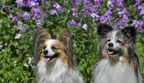 Our Papillons