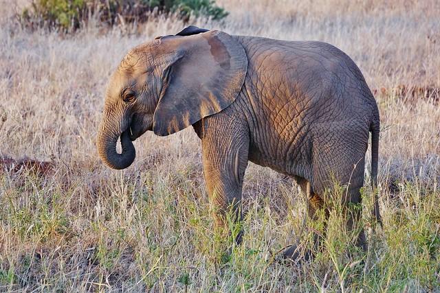 Juvenile Male African Elephant (Loxodonta africana)