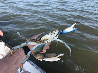 Photo of a nice-sized blue crab
