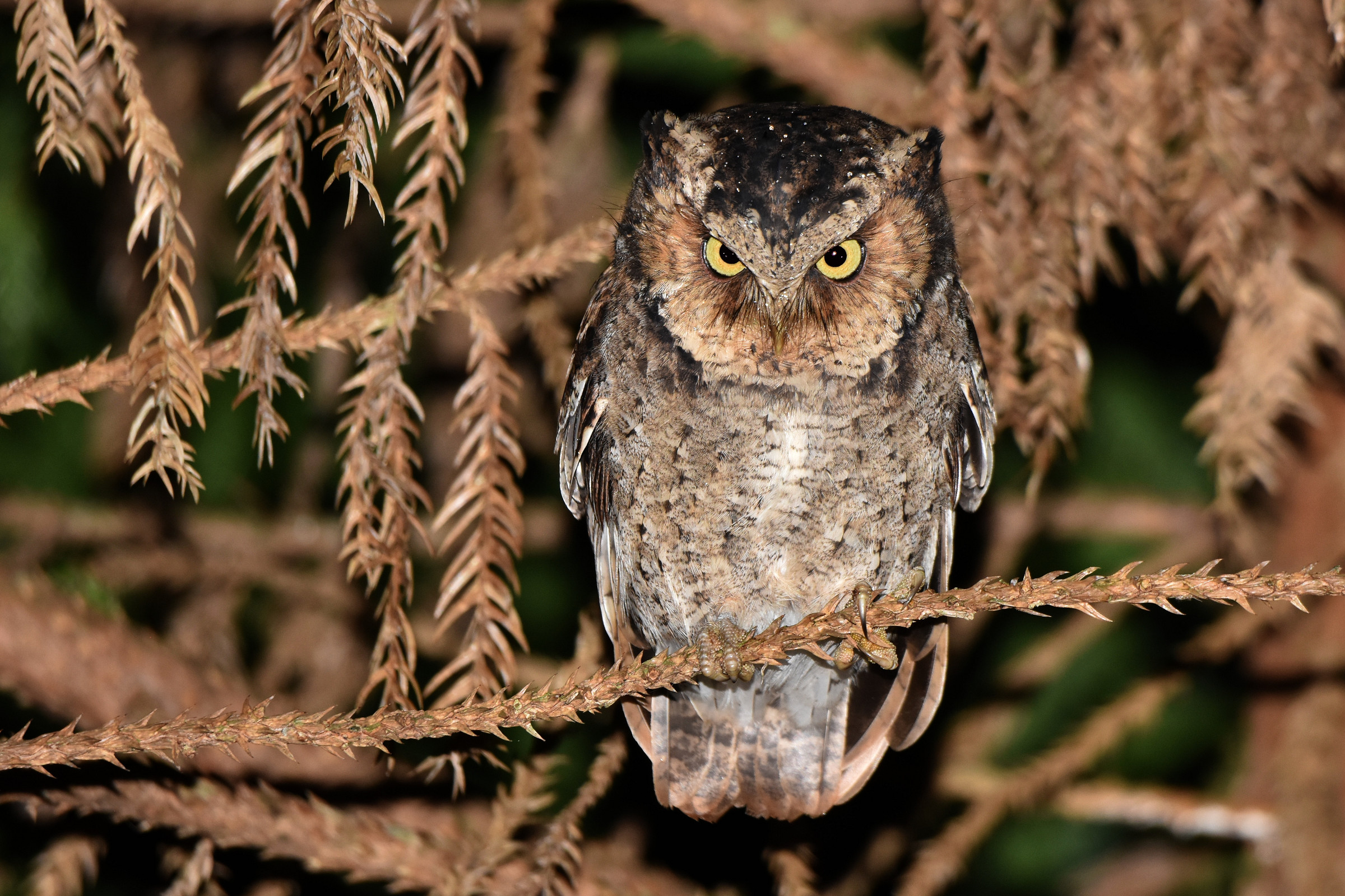 Mountain_Scops_Owl_6421-2400