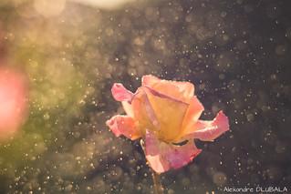 Sunset x rose x Гелиос-40