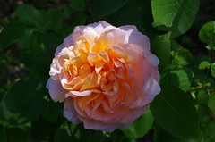 Strawberry Hill Rose