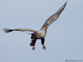 White-tailed Eagle | by D Goodwin