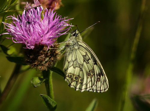 marbled white profile