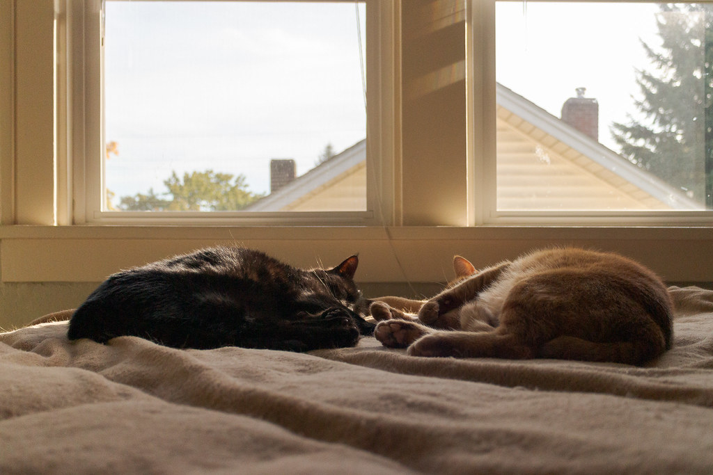 Our cats Emma and Sam sleep on the bed in the guest room of our house in Portland on a sunny fall afternoon in October 2013