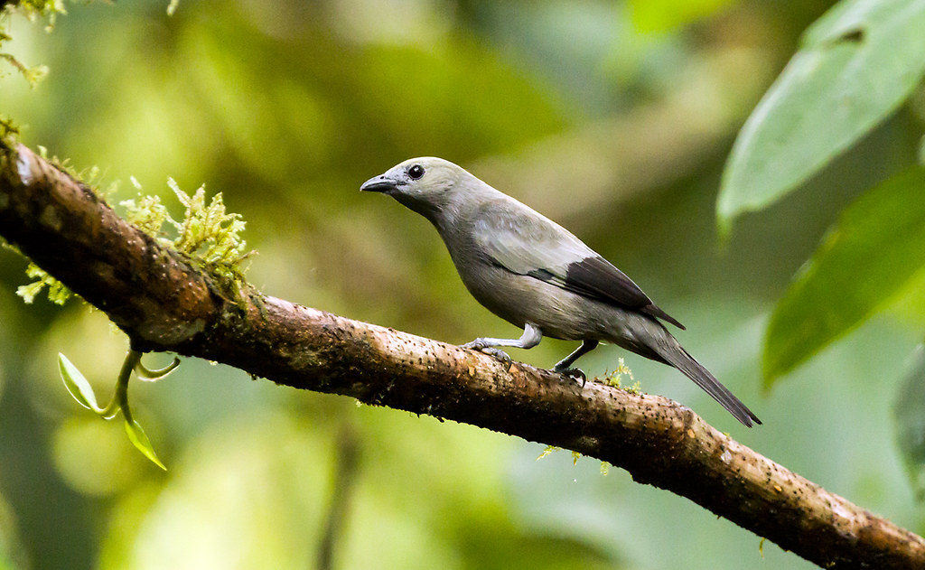 0P7A0745  Palm Tanager, Ecuador