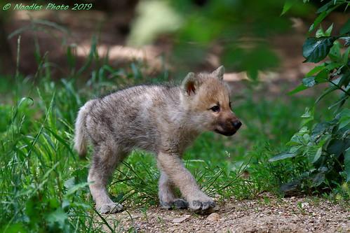 Arctic wolf - Polarwolf