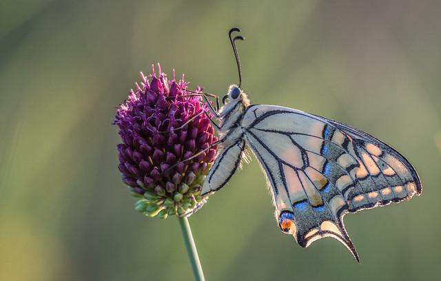 Papilio machaon & Allium sphaerocephalon