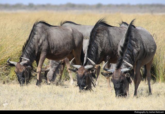 Blue wildebeests, Etosha NP, Namibia