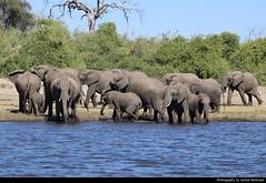 Elephant herd, Chobe NP, Botswana