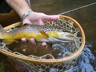 Photo of brown trout in net