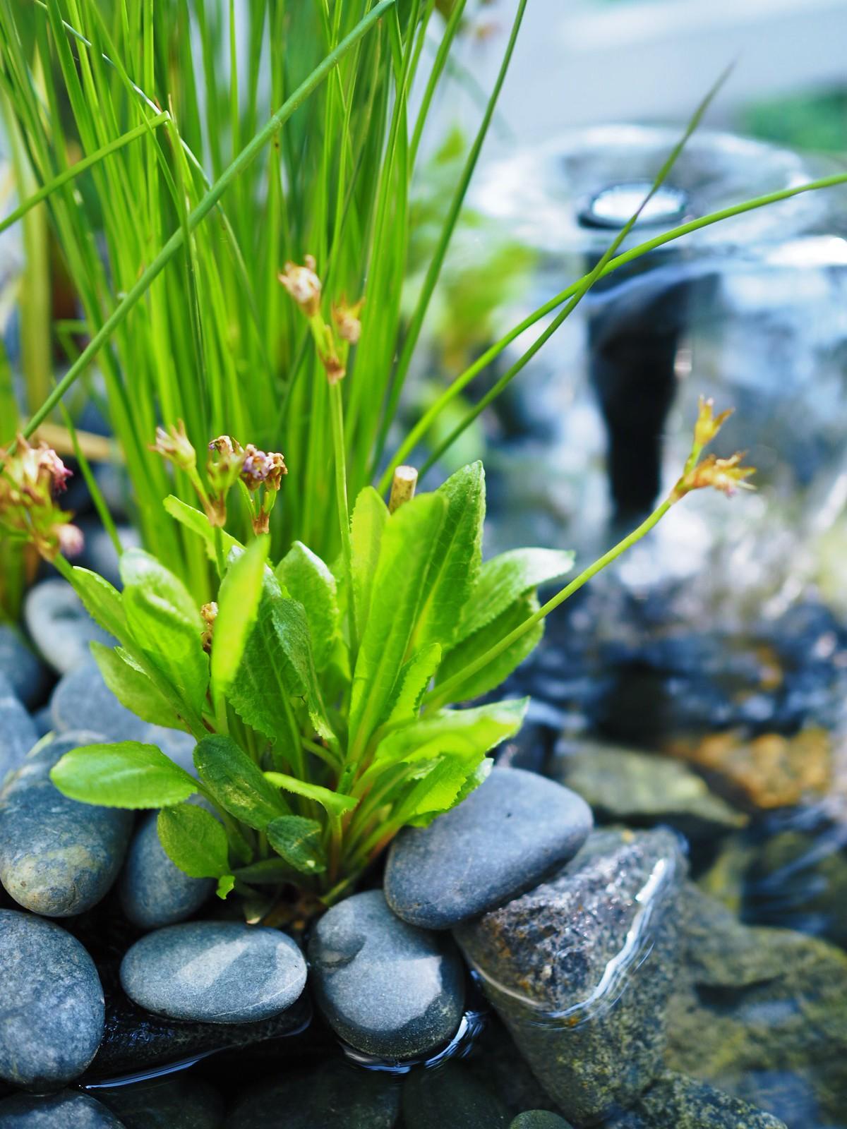 vesiaihe-puutarhaan