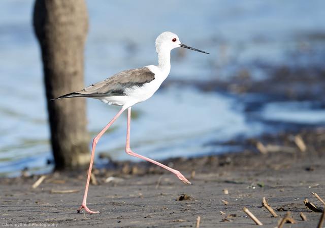 Black-winged Stilt, Himantopus himantopus, Msuna fishing resort, Zambezi River, Zimbabwe