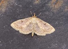63.020 Fenland Pearl - Anania perlucidalis