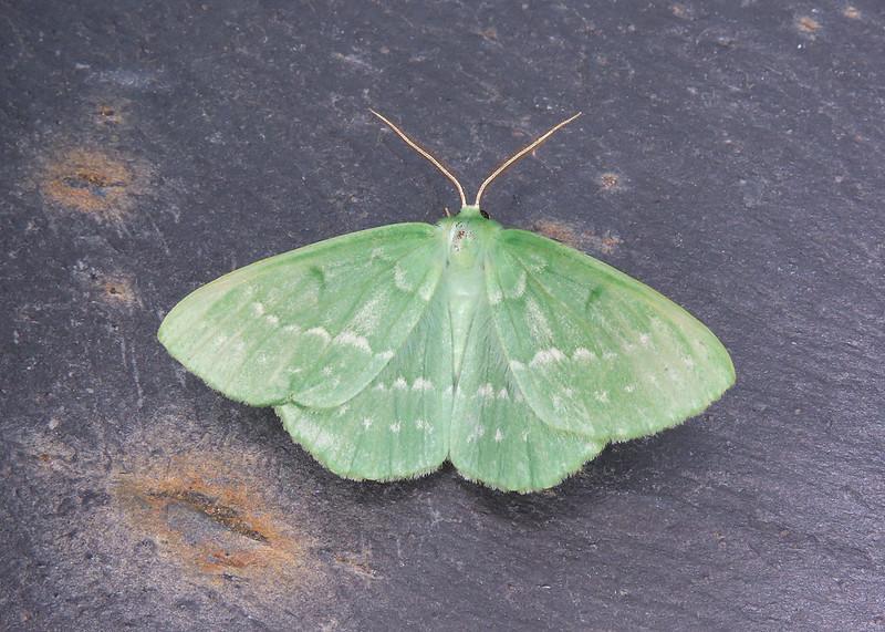 70.299 Large Emerald - Geometra papilionaria