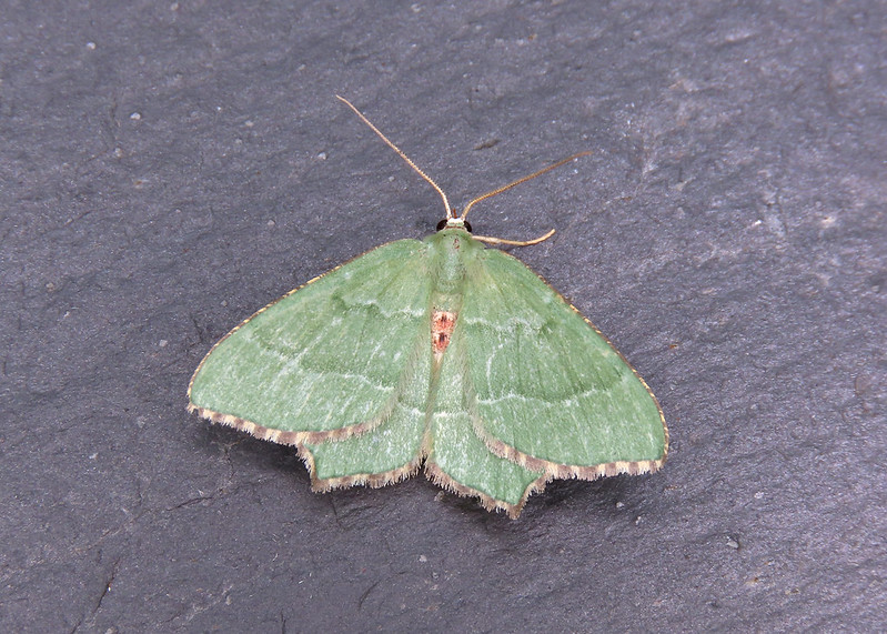 70.305 Common Emerald - Hemithea aestivaria
