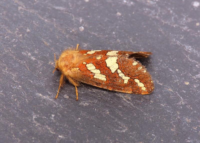 03.004 Gold Swift - Phymatopus hecta
