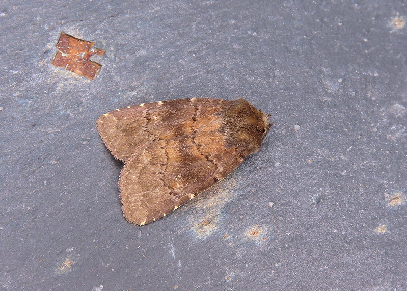 73.102 Brown Rustic - Rusina ferruginea