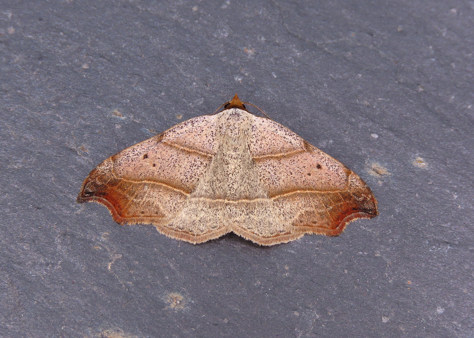 72.069 Beautiful Hook-tip - Laspeyria flexula