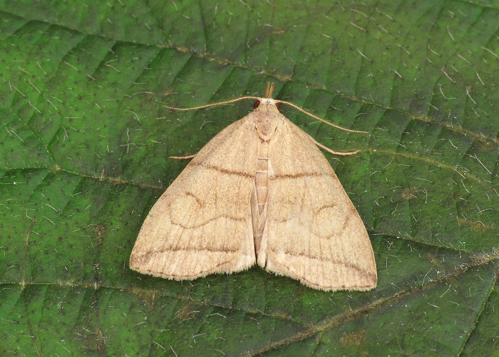 72.055 Small Fan-foot - Herminia grisealis
