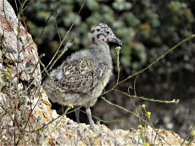 Western Gull chick Pismo Beach