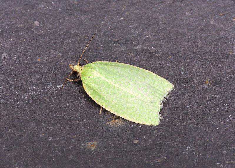 49.059 Green Oak Tortrix - Tortrix viridana